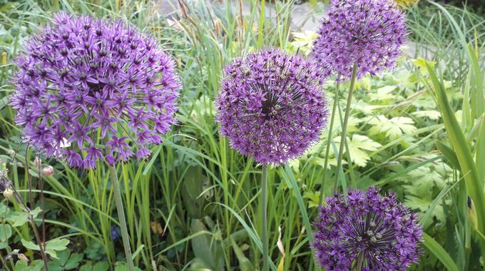 Beautiful Alliums in bloom